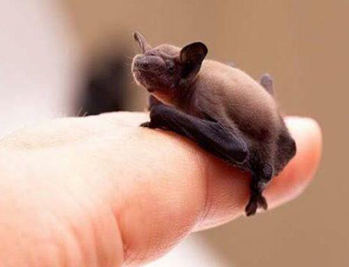 Il pipistrello Calabrone